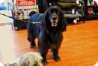 Spaniel (Unknown Type) Mix Dog for adoption in Toronto/GTA, Ontario - SAMMY