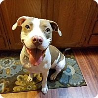 American Bulldog/Pit Bull Terrier Mix Puppy for adoption in Ft. Myers, Florida - Layla