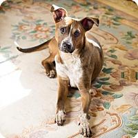 Adopt A Pet :: Tilly - Arlington, VA