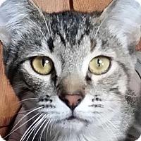 Adopt A Pet :: Harmony - Brighton, MO