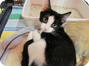 Domestic Shorthair Kitten for adoption in Diamond Bar, California - BALOO