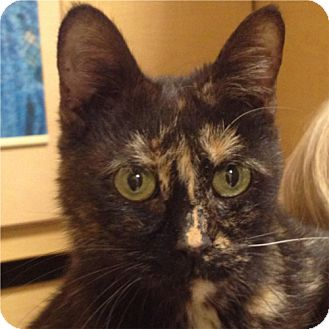 Domestic Shorthair Cat for adoption in Weatherford, Texas - Rosie