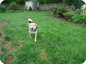 Shiba Inu Dog for adoption in Manassas, Virginia - Kibou