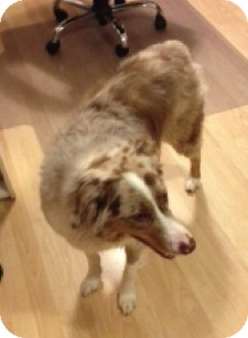 Australian Shepherd Dog for adoption in Elk River, Minnesota - Sydney
