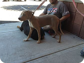 American Pit Bull Terrier Mix Puppy for adoption in Scottsdale, Arizona - Tremble