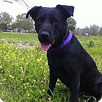 Labrador Retriever Mix Dog for adoption in Baton Rouge, Louisiana - Blackie