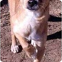 Chihuahua Dog for adoption in Clarksville, Tennessee - Lenny