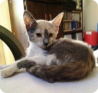 Domestic Shorthair Cat for adoption in Cerritos, California - Belinda