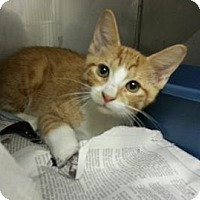 Domestic Shorthair Cat for adoption in Miami, Florida - Cyrus