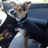 Adopt A Pet :: Piper - Lebanon, CT
