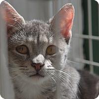 Adopt A Pet :: Mishu - Brooklyn, NY