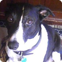 Adopt A Pet :: Joey - Croton, NY
