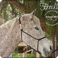 Arabian Mix for adoption in Canyon Country, California - Freckles