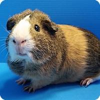 Guinea Pig for adoption in Lewisville, Texas - Claude