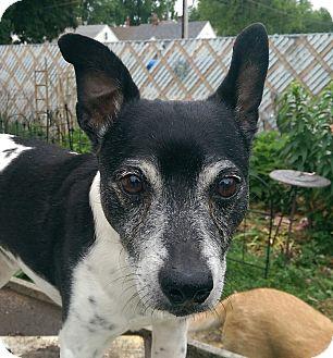Rat Terrier Dog for adoption in Davenport, Iowa - Milo