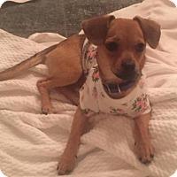 Adopt A Pet :: Viveca - Houston, TX