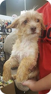 Terrier (Unknown Type, Small) Mix Dog for adoption in Fresno, California - Bristle