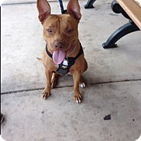 Pit Bull Terrier Mix Dog for adoption in Fort Lauderdale, Florida - DIAMOND