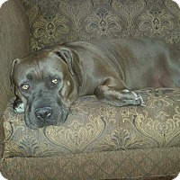 American Pit Bull Terrier/Shar Pei Mix Dog for adoption in Encino, California - Kizzie