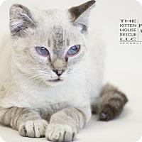 Siamese Cat for adoption in Houston, Texas - SUTTER-V