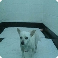 Chihuahua Dog for adoption in Barnwell, South Carolina - Casper FCD# 328