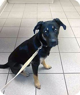 German Shepherd Dog/Shepherd (Unknown Type) Mix Dog for adoption in Columbus, Ohio - Jed