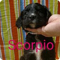 Adopt A Pet :: Scorpio - Garden City, MI