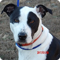 Adopt A Pet :: Gypsy(60 lb)Perfect Family Pet - SUSSEX, NJ