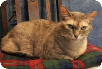Domestic Shorthair Cat for adoption in Lenexa, Kansas - Flora Jean