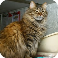 Domestic Mediumhair Cat for adoption in Lombard, Illinois - Tippi