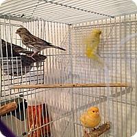 Adopt A Pet :: Canaries - St. Louis, MO