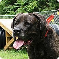 Mastiff Mix Dog for adoption in Stafford, Virginia - Zoe