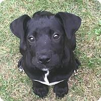 Adopt A Pet :: Bella - Baltimore, MD