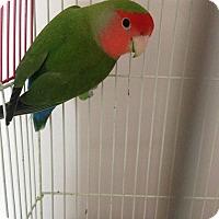 Adopt A Pet :: Pea - selden, NY