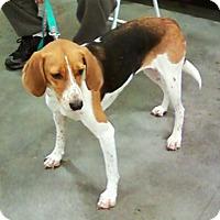 Hound (Unknown Type) Mix Dog for adoption in Midlothian, Virginia - Bessie