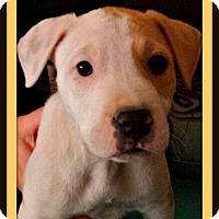 Adopt A Pet :: Bruiser - Rancho Cucamonga, CA