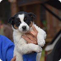 Adopt A Pet :: Pyper - Charlemont, MA