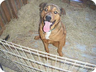 German Shepherd Dog/Labrador Retriever Mix Dog for adoption in Mansfield, Texas - Moose