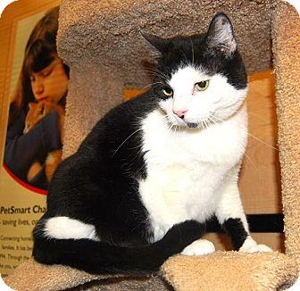 Domestic Shorthair Cat for adoption in Whittier, California - Phantom