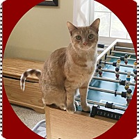 Domestic Shorthair Cat for adoption in Mt. Prospect, Illinois - Toews