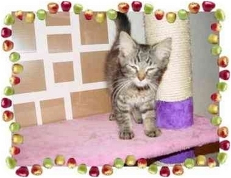 Maine Coon Kitten for adoption in KANSAS, Missouri - Jami
