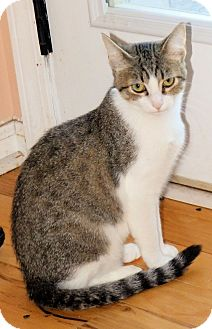 Domestic Shorthair Kitten for adoption in Morganton, North Carolina - Sally