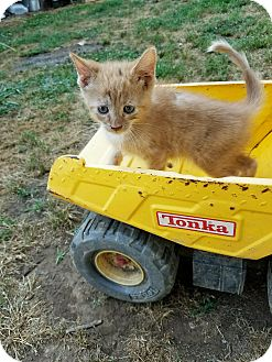 Domestic Shorthair Kitten for adoption in Hayden, Alabama - Karsen