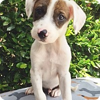 Adopt A Pet :: Odin - 11 weeks old - Charleston, SC