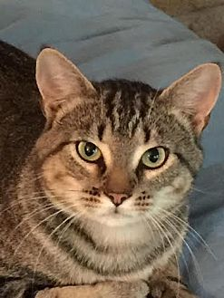 Domestic Shorthair Cat for adoption in Asheboro, North Carolina - Coop