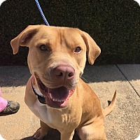 Labrador Retriever/Boxer Mix Dog for adoption in Birmingham, Alabama - RUBY (Courtesy Post)