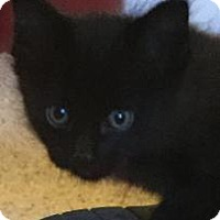 Domestic Shorthair Kitten for adoption in San Jose, California - Coco