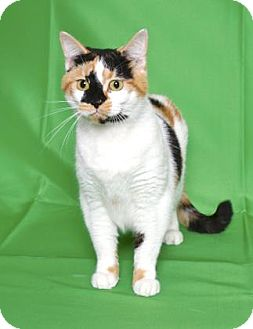 Calico Cat for adoption in Gloucester, Virginia - BUNNY