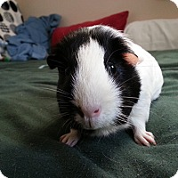 Guinea Pig for adoption in Harleysville, Pennsylvania - Molly