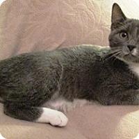 Manx Kitten for adoption in Lebanon, Pennsylvania - Mindy